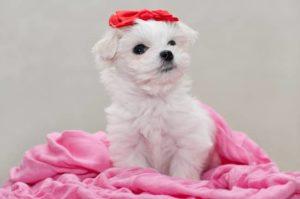 cachorro miniatura de maltés